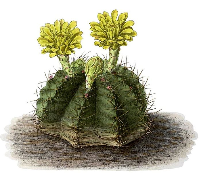 Central Oklahoma Cactus & Succulent Society