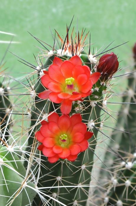 claret-cup-cactus